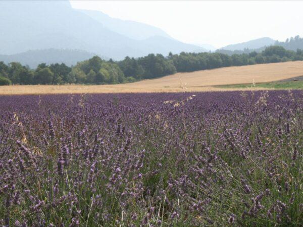 Lavendel in bloei. Vlakbij B&B Gites Les Glycines Haute Provence