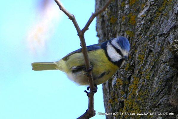 Vogelparadijs Les Glycines - de pimpelmees in onze tuin