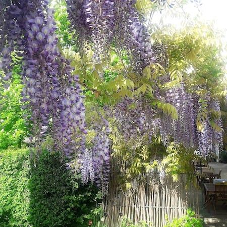 Les Glycines de blauwe regen in de Haute Provence